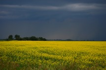 Field of yellow flowers with trees and stormy sky in background.
