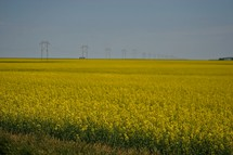 Field of yellow flowers with power lines and road in the background.