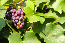 grapes hanging on the vine