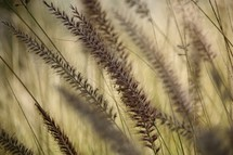 tops of tall grasses