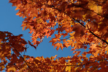 orange leaves on a tree in fall