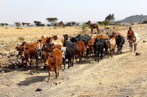 cattle on a dirt road in Africa