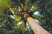 Large palm tree with many fronds or branches