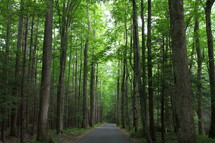 A road through a forest of tall trees.