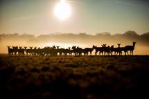 herd of deer at sunrise