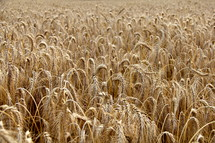 Field of dry golden wheat, ready for harvest