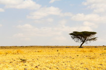 Isolated thorn tree on the African savanna