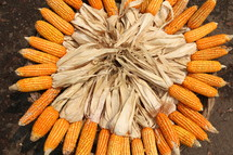 Basket of dried corn or maize with peeled back husk