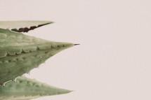 aloe plane leaves