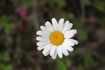 a single white daisy