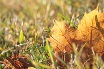 wet golden leaves in a lawn