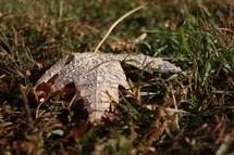 wet fall leaf in a lawn