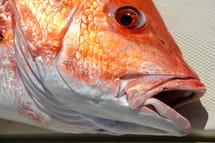 Freshly caught game fish.
