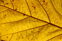 Closeup of veins on a yellow leaf