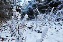 plants covered in snow
