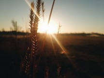 sunburst behind golden wheat