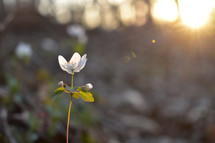 sunlight on a white flower
