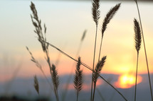 wheat grains at sunset