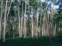 A grove of aspen trees.