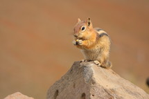 Chipmunk holding and eating a nut while sitting on a rock.