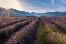 sunburst over a field of lavender
