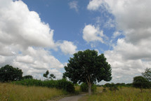 Tree by a dirt road.