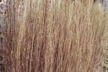 tall winter grass closeup