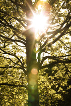 sunburst through spring tree branches