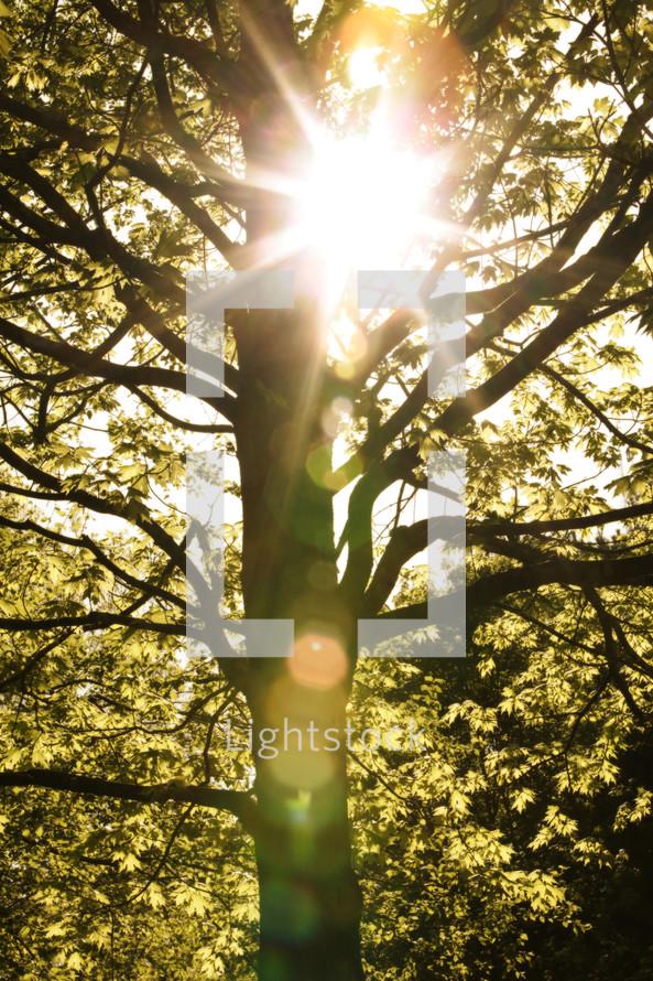 sunburst through spring tree branches