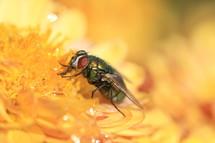 Fly drinking flower nectar.