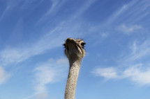 Ostrich head and neck.