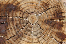 Wood rings of a tree