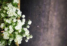 white flowers ready to be planted