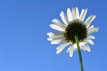 white daisy and blue sky