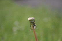 dandelion without petals