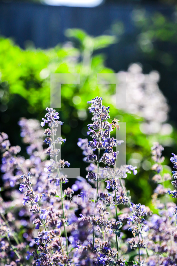 bee on a lavender flowers