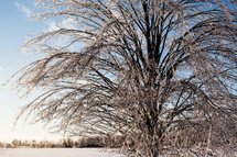 Ice-Covered Tree after Winter Storm is Sunlit
