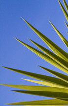bright green yucca leaves