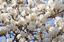Blooming magnolia tree.