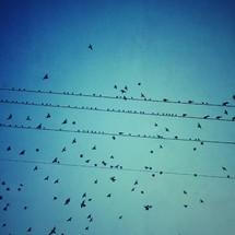 Birds sitting on power wires