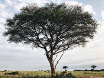 single tree in the savanna