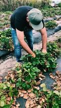 a man picking strawberries