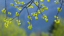 new leaves blowing in spring breeze