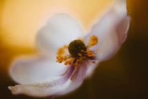 dogwood flower closeup