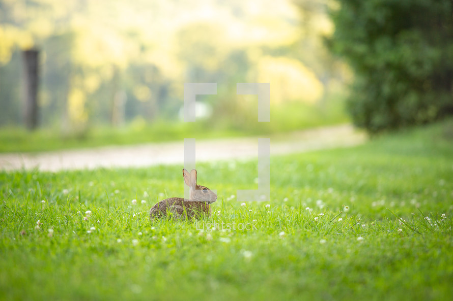 Brown cottontail rabbit sitting in grass with clover flowers