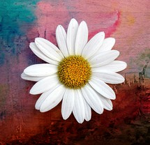 white daisy on watercolor background