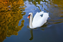 White swan swimming in pond