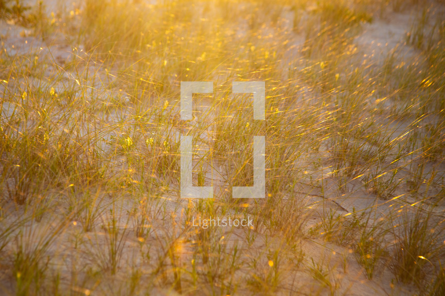 Light shining on abstract textured tall grass on sand dune at golden hour