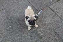 Pug puppy on a leash on asphalt