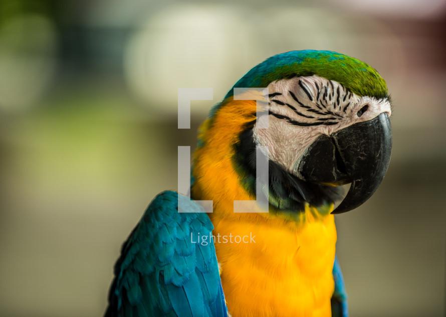 military macaw sleeping